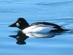 Common Goldeneye/Schellente