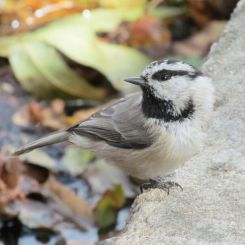 Mountain Chickadee/Gambelmeise