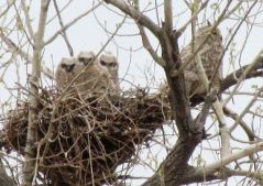 Great Horned owlets/Junge Virginia-Eulen