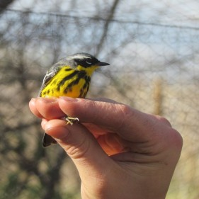Magnolia Warbler captured, banded, and released at a banding station