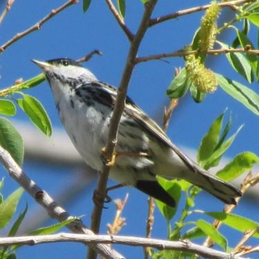 Blackpoll Warbler/Streifenwaldsänger