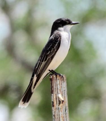 Eastern Kingbird/Königstyrann