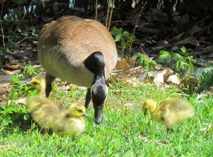 Canada Goose goslings/Kanadagansküken