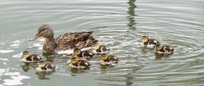 Mallard ducklings/Stockentenküken