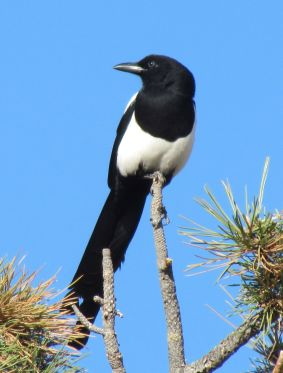 Black-billed Magpie/Hudsonelster