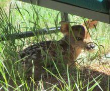 Deer fawn/Rehkitz