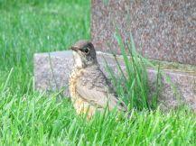 American Robin (juvenile)/Wanderdrossel (juvenil)