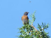 Western Bluebird/Blaukehlhüttensänger