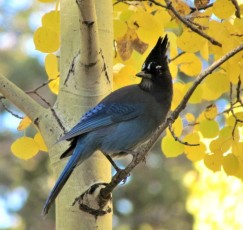 Steller's Jay/Diademhäher, posing in front of fall foliage