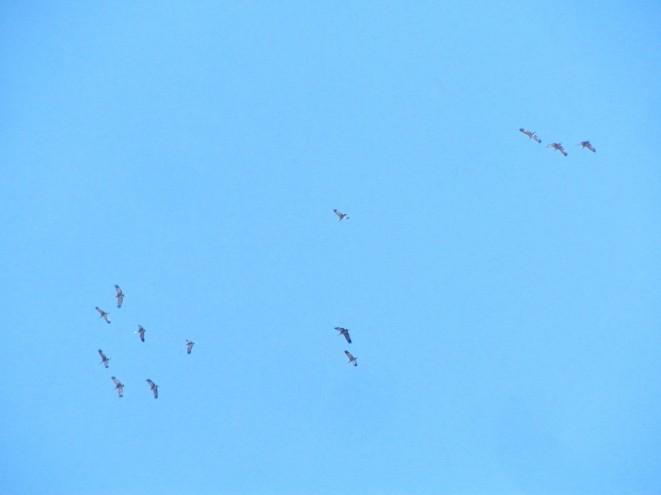 Sandhill Cranes/Kanadakraniche