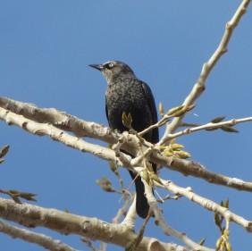 Rusty Blackbird/Roststärling