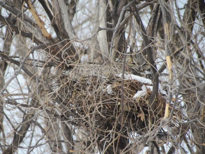 Well-camouflaged nesting Great-horned Owl/Gut getarnter nistender Virginia-Uhu