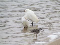 2 Snowy Egrets with 1 Greater Yellowlegs