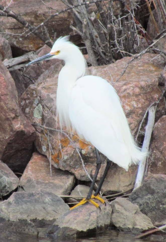 "Snowy Egret with ""golden slippers."""