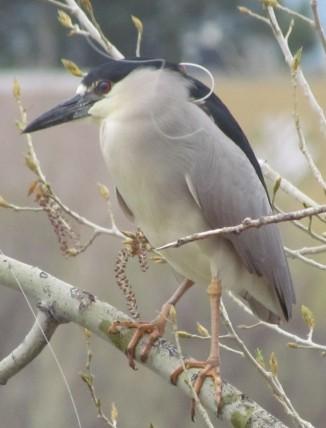 Black-crowned Night Heron/Nachtreiher