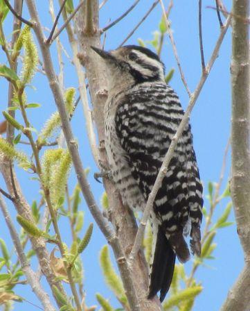 Ladder-backed Woodpecker/Texasspecht
