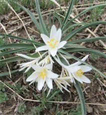 Sand Lily (Leucocrinum montanum)