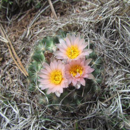 Mountain Bell Cactus (Pediocactus simpsonii)