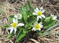 White Marsh Marigold (Caltha leptosepala)