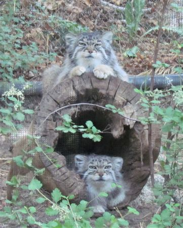 Pallas' cats