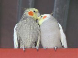 Lovey-dovey cockatiels
