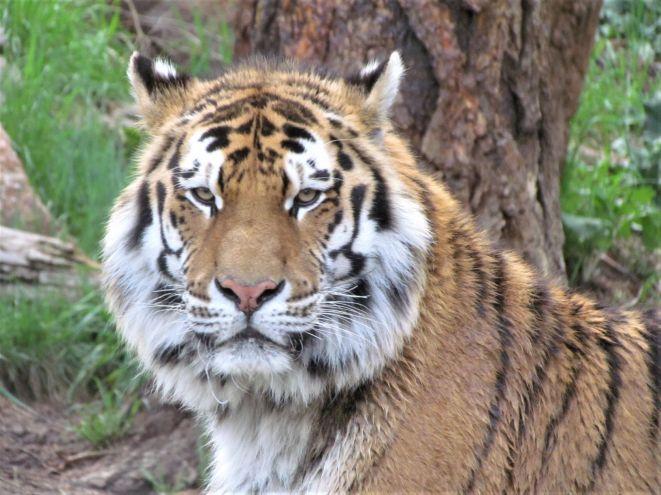 "Amur tiger ""Chewy"""