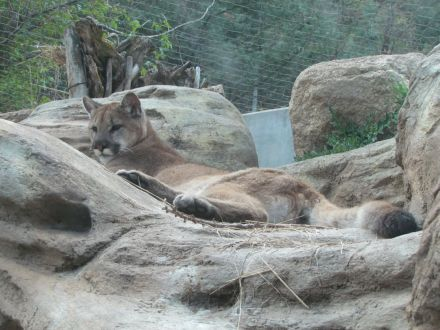 Relaxed mountain lion