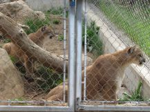 Two captivated mountain lions