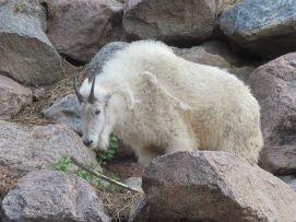 Real mountain goat