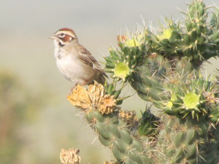Lark Sparrow singing from a cholla