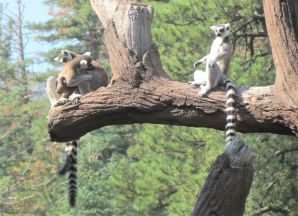 Allagash with one of her twins visible, and two other adult lemurs
