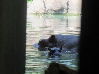 Zambesi with her son